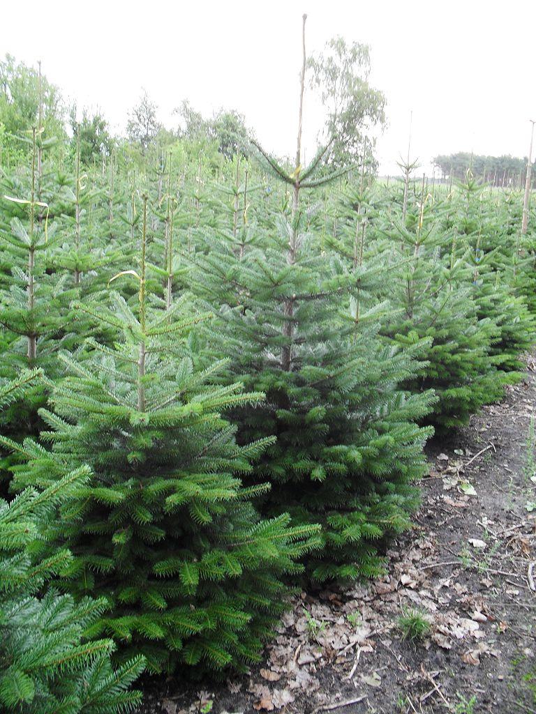Weihnachtsbaum Willers